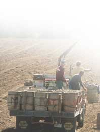 Barrels of hand-picked potatoes are picked up by truck at the J.A. & R. Farm in St. Francis, 1995.  Photographer, Paula Lerner,   2003.